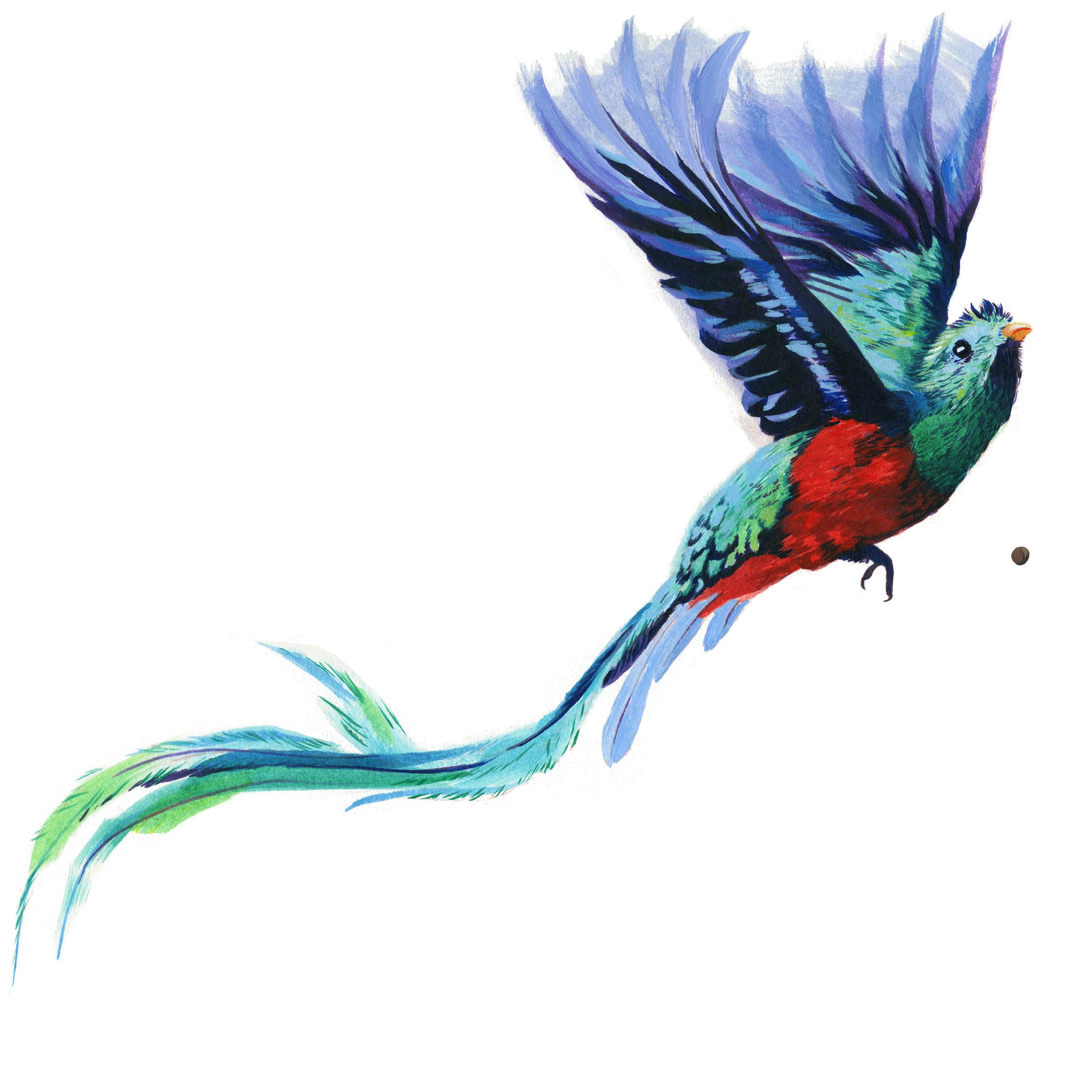 Resplendant Quetzel Illustration - Olivia Wise | Zinn Education Project
